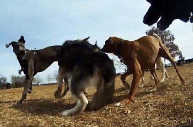 jeux de chiens filmée par une caméra GoPro fixée au collier du chien