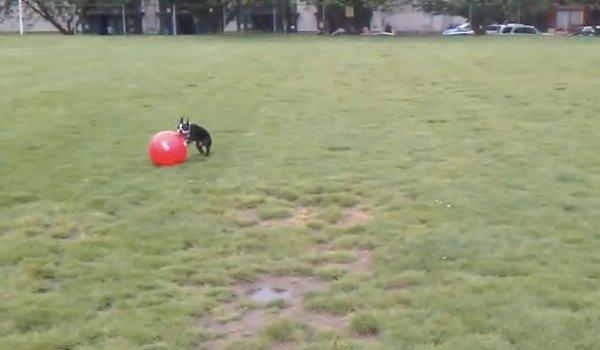 chien avec une balle trop grosse pour lui