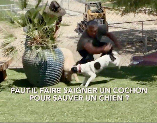 Cesar Millan cruel envers un cochon pour rééduquer un chien prétendument menacé d'euthanasie