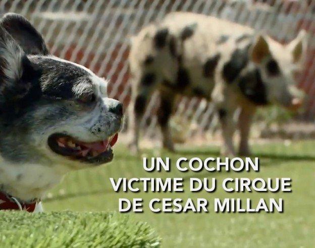 un cochon victime du cirque médiatique de Cesar Millan l'éducateur controversé