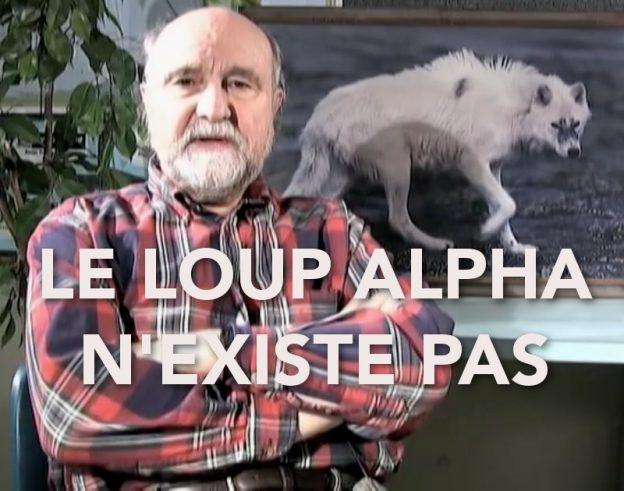 le loup alpha n'existe pas